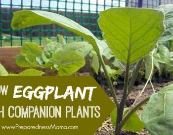 Grow eggplant with companion plants | PreparednessMama