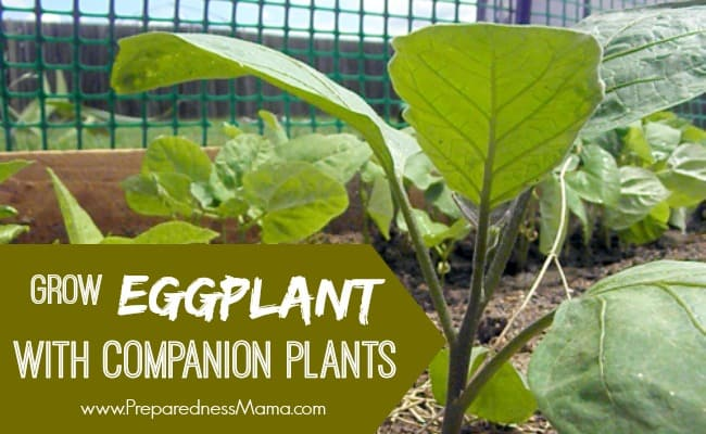 Grow Eggplant with Companion Plants