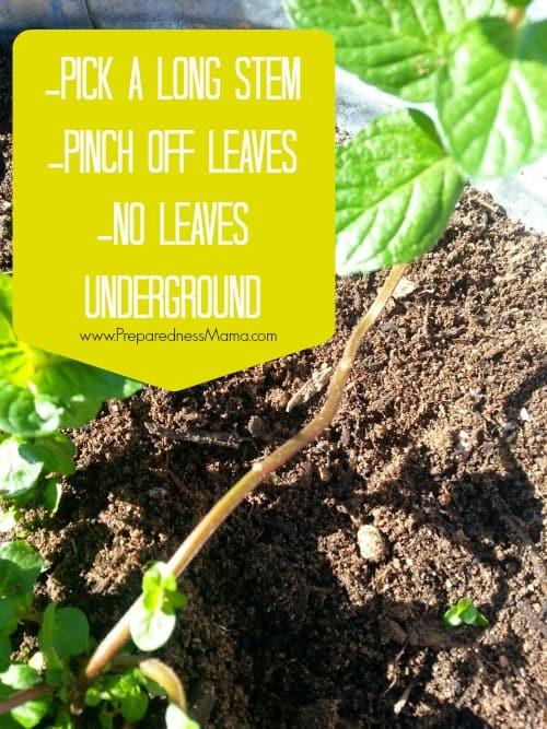Use a long stem to propagate by layering | PreparednessMama