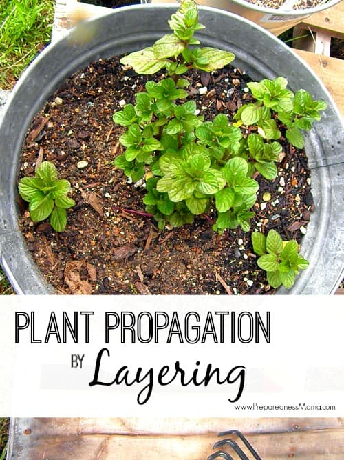 Increase your harvest - Plant Propagation by Layering | PreparednessMama