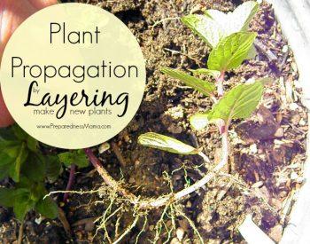 Plant Propagation by Layering | PreparednessMama