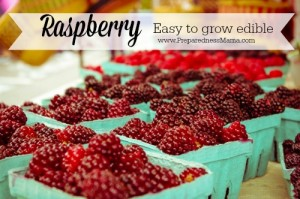 Raspberry plants are an easy to grow edible for any garden | PreparednessMama