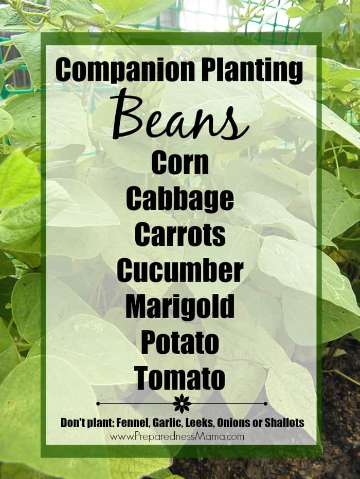 Get companion planting basics for beans. Implement companion planting in your garden and have a bumper crop this year. | PreparednessMama