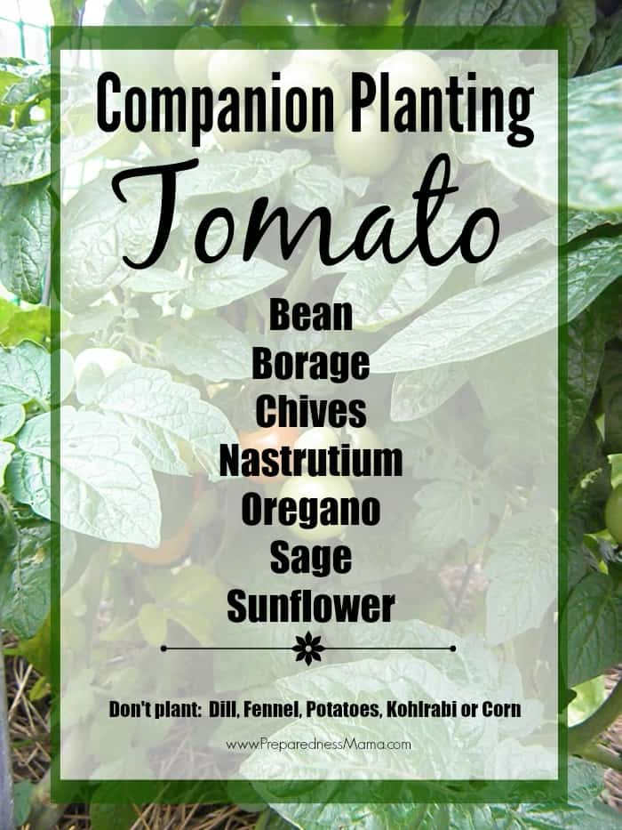 Get companion planting basics for tomatoes. Implement companion planting in your garden and have a bumper crop this year. | PreparednessMama