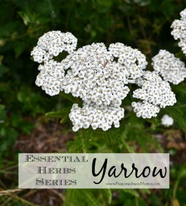 Yarrow is one of the 20 Essential Herbs to have in your garden   PreparednessMama