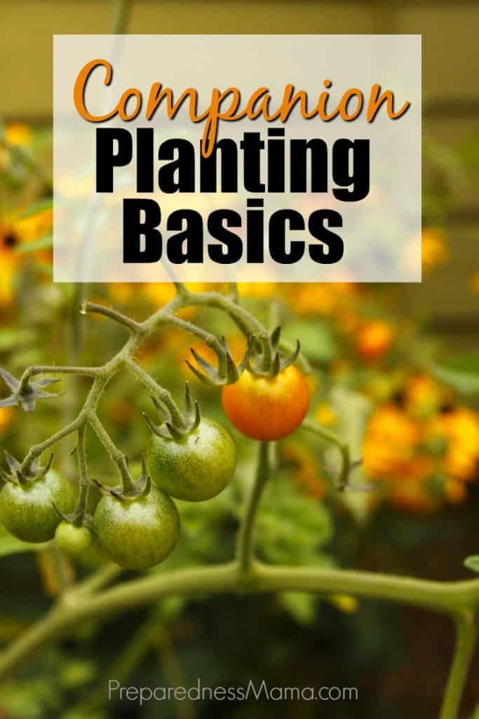 Get companion planting basics for tomato, beans, peppers, and squash. Implement companion planting in your garden and have a bumper crop this year. | PreparednessMama