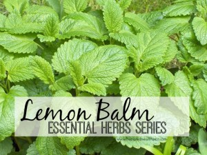Lemon Balm - One of the 20 essential herbs to have in your garden | PreparednessMama