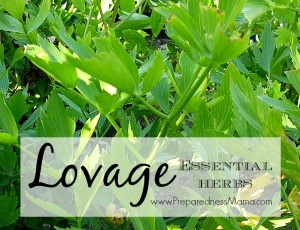 Lovage is one of the 20 Essential Herbs to have in your garden | PreparedneddMama
