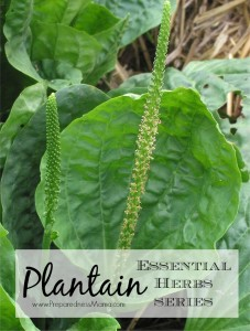 Plantain is one of the 20 Essential Herbs to have in you garden | PreparednessMama