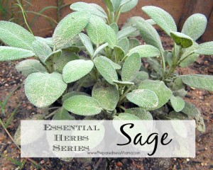 Sage is one of the 20 Essential Herbs to have in your garden   PreparednessMama