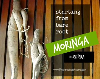 Grow moringa from bare root stock | PreparednessMama