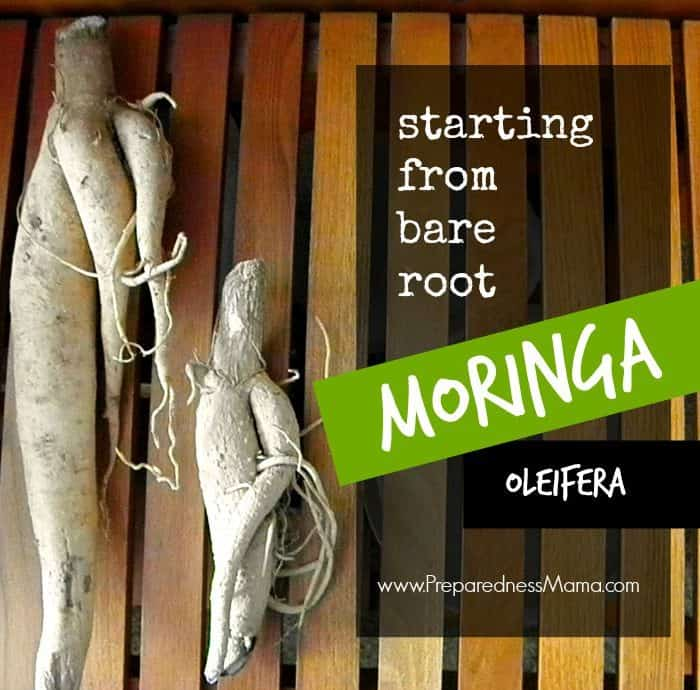 Grow Moringa from Bare Root Stock