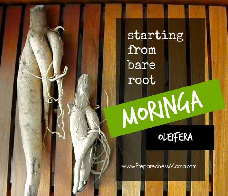 Grow moringa from bare root stock | PreparednessMama