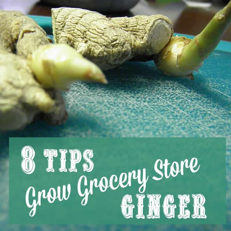 8 Tips to Grow Grocery Store Ginger | PreparednessMama