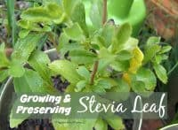 How to make stevia syrup - Growing & Preserving DIY Stevia Leaf | PreparednessMama