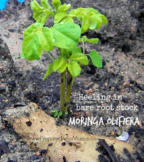 Ideas to grow moringa from bare root stock | PreparednessMama