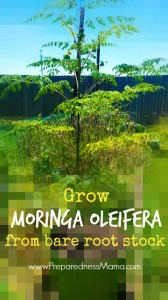 You can grow moringa from bare root stock by following these easy steps | PreparednessMama
