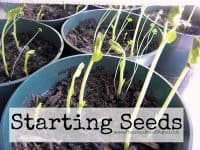 Starting seeds for the fall garden is easier than you think. Find our my strategy in this tutorial \ PreparednessMama