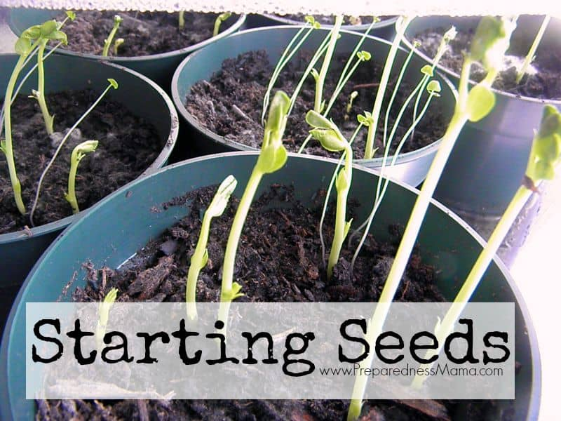 Starting seeds for the fall garden is easier than you think. Find our my strategy in this tutorial | PreparednessMama