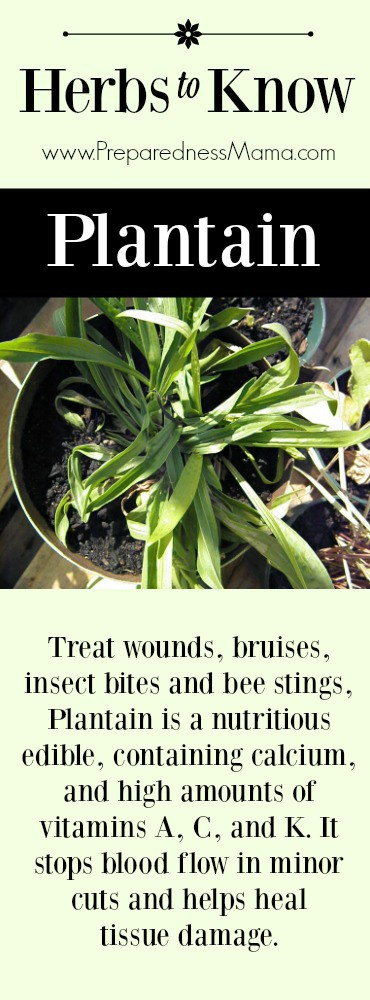 Herbs to Know: Plantain -Resist the urge to kill it | PreparednessMama