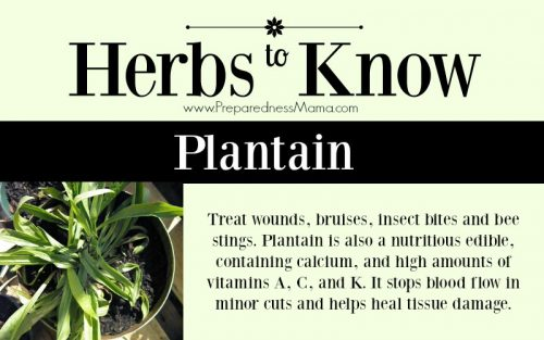 Herbs to Know: Plantain - Resist the urge to kill it | PreparednessMama
