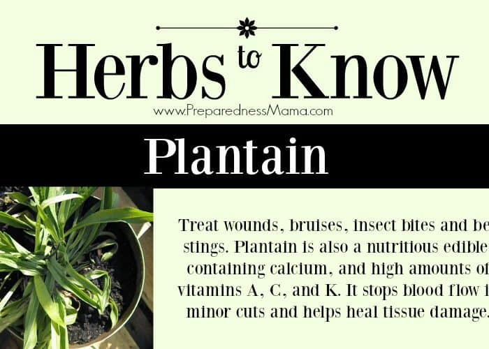 Plants to Know: Plantain Herb