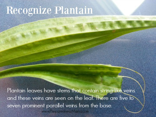 This is the lancet leaf variety. Recognize plantain in your yard | PreparednessMama