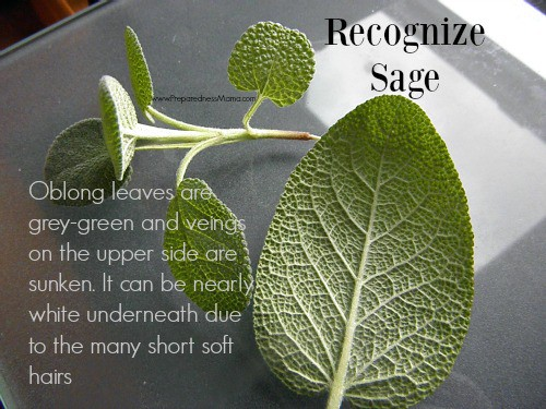 Recognize it! Herbs to know: Sage | PreparednessMama