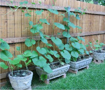 Vertical Gardening Roundup: Growing gourds vertically in containers from Artful Creations