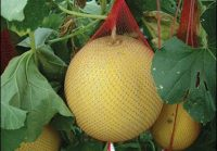 Vertical Gardening Roundup: How to Trellis Melons from Survival and USA | PreparednessMama