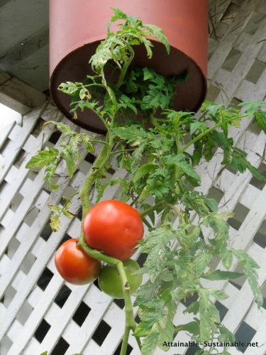 Vertical Gardening Roundup - Learn to grow upside down tomatoes. Photo courtesy of attainable sustainable | PreparednessMama