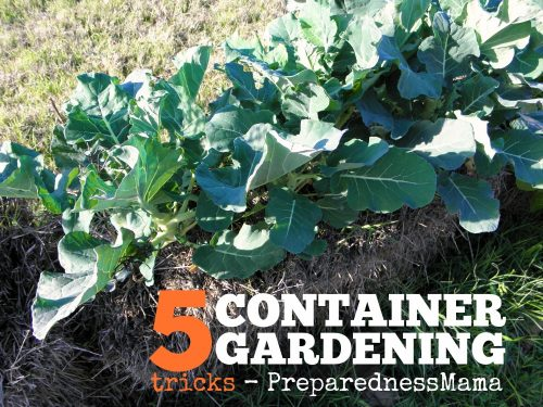 5 Container gardening tricks for any size garden. This is broccoli being grown in a straw bale | PreparednessMama