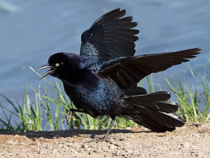 Natural garden pest control - The great tailed grackle solved my grasshopper problem | PreparednessMama