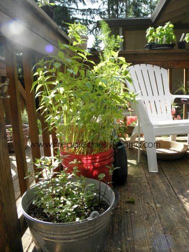 Mint and Mondara in pots. Container gardening tricks | PreparednessMama