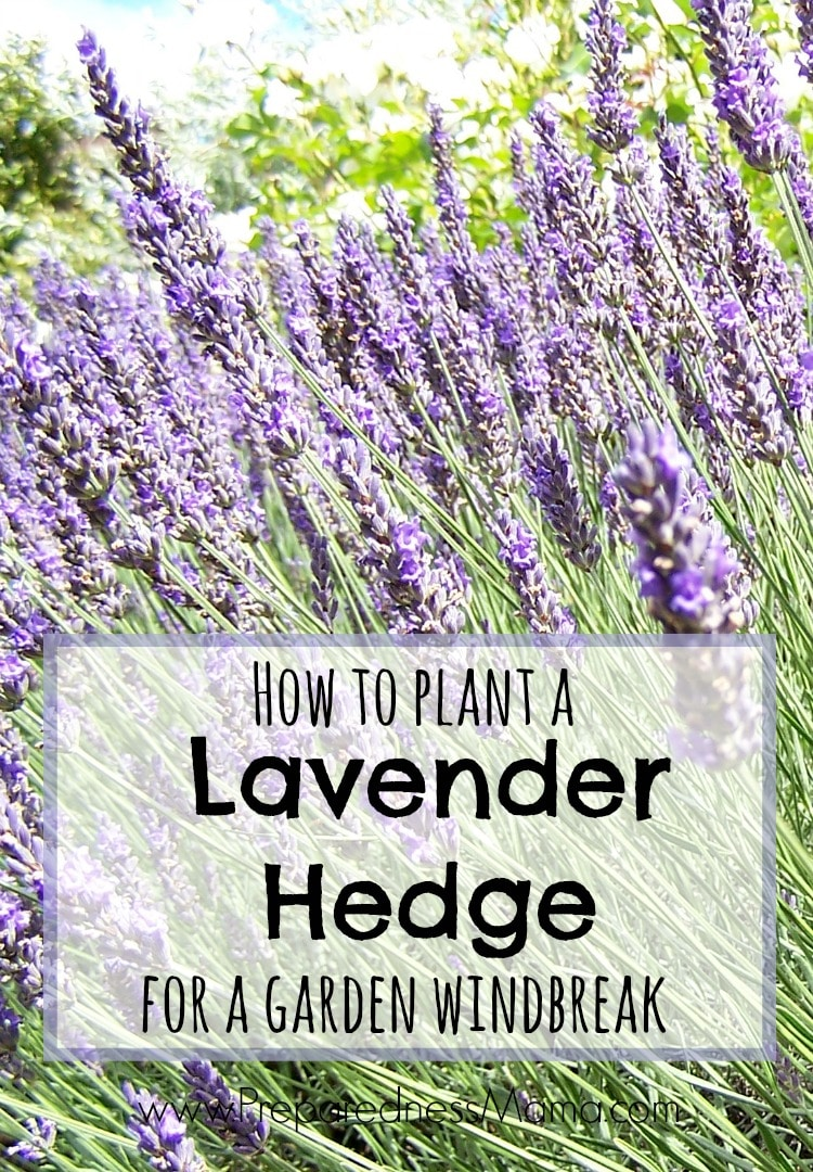 How Can A Lavender Plant Get Its Food