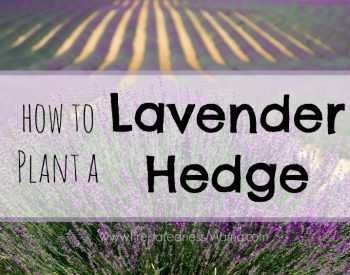 How to plant a lavender hedge for a beautiful garden windbreak | PreparednessMama