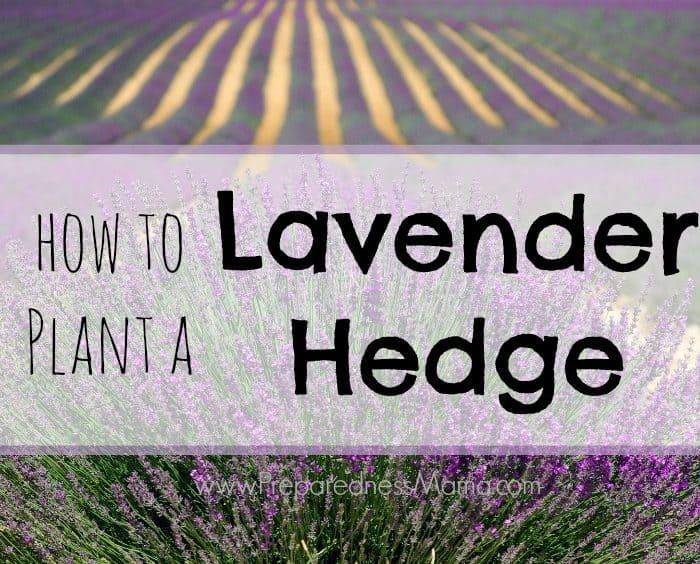 Planting a Lavender Hedge