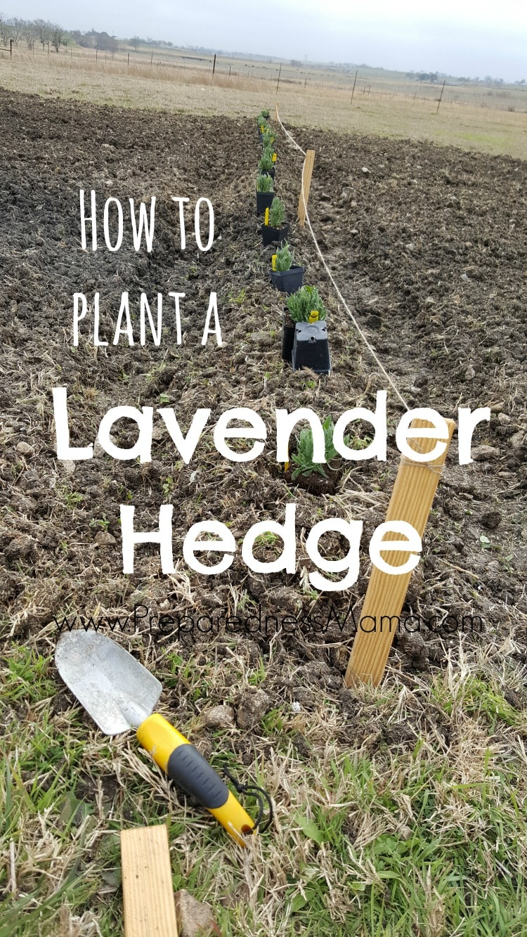 Planting A Lavender Hedge Preparednessmama