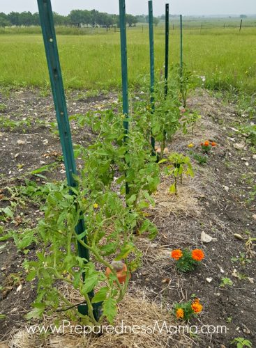 Cagint tomatoes with T-posts and plant ties | PreparednessMama