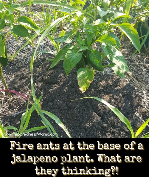 Fire ants are my garden nemesis. I'm looking for an organic way to treat mounds. It's one of my garden foail this year | PreparednessMama