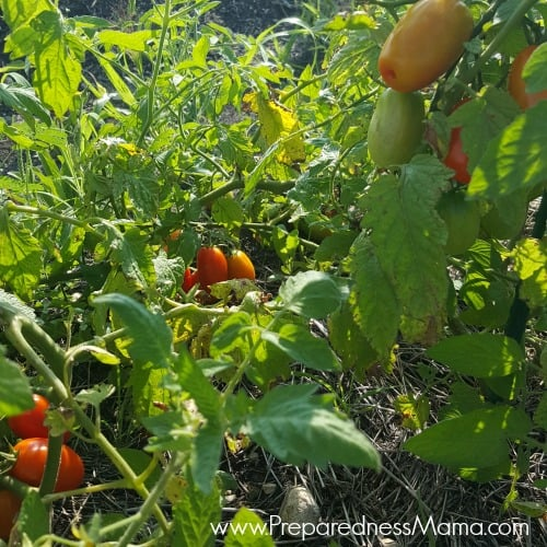 Even without a proper staking, these cherry tomatoes are producing nicely and are a garden success | PreparednessMama