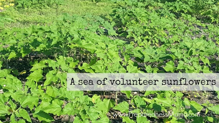 A sea of volunteer sunflowers in the unused portion of my garden. They are being used as a cover crop. It remians to be seen if this will be a garden success or failure   PreparednessMama