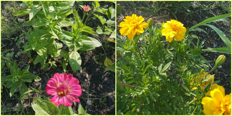 Thanks friends for gifting zinnia and marigold seeds! They are an easy to grow garden success | PreparednessMama