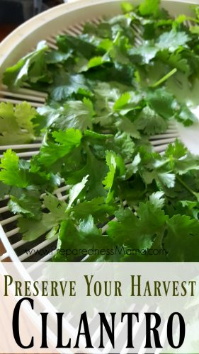 Preserve the harvest: dehydrate cilantro for a constant supply| PreparednessMama