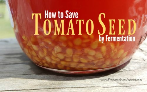 How to save heirloom tomato seeds using the fermentation process | PreparednessMama