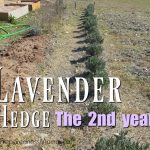Growing a Lavender Hedge Year 2