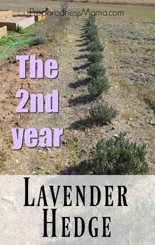 There isn't much maintenance with my lavender hedge year 2, it's looking great. A bit of compost and a bit of cleaning and you'll be enjoying a wonderfully fragrant summer harvest | PreparednessMama