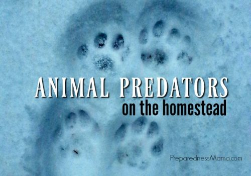 Bobcat tracks. Do you know what predators are eyeing your homestead animals? Learn how to recognize and prepare for 50 common animal predators on the homestead | PreparednessMama