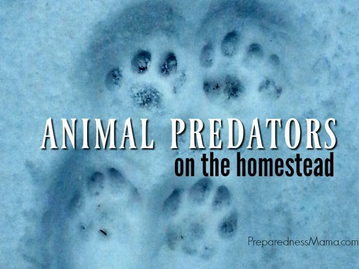 Animal Predators on the Homestead