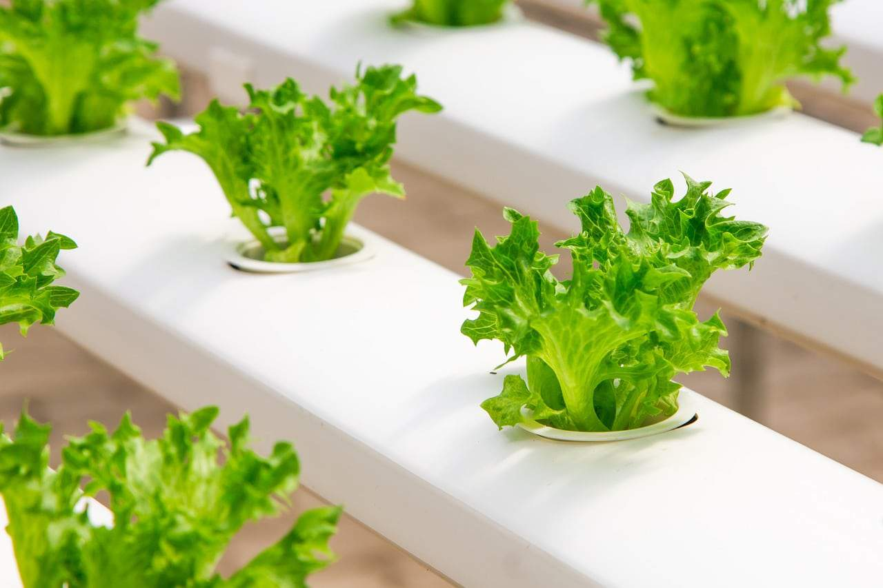 close-up photo focused on lettuce being grown in hydroponic system